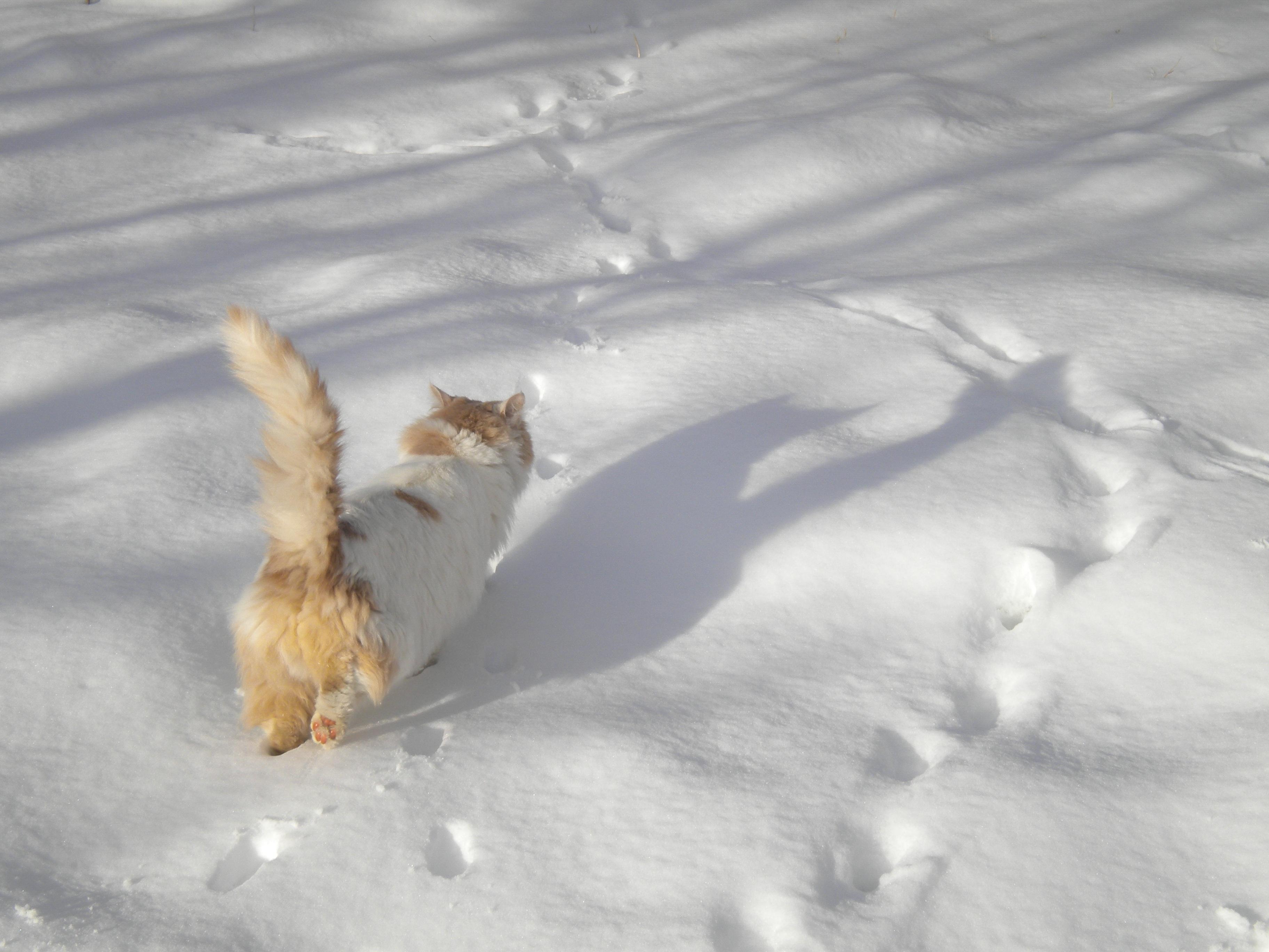 cat walking in snow