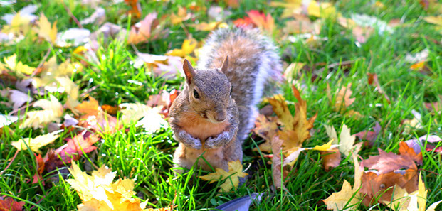 Squirrel in the Fall Leaves