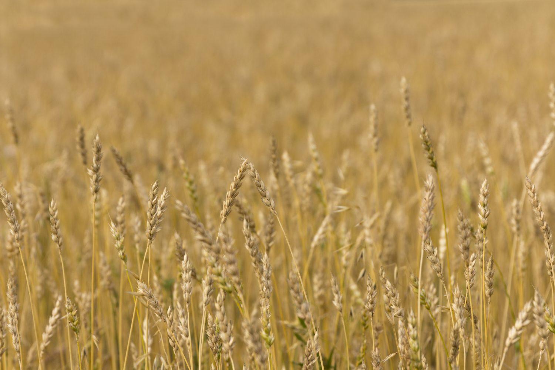 a crop field of wheat