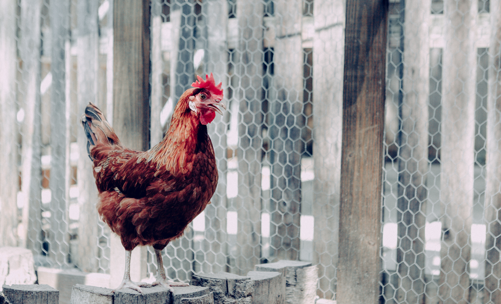 A red chicken stands on some stumps after taking a dust bath in diatomaceous earth.