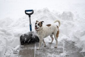 Dog with snow shovel