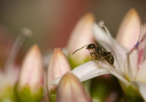 ant-on-flowers-PWNSKG2
