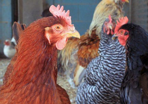 chicken-1336445_1920-1024x854