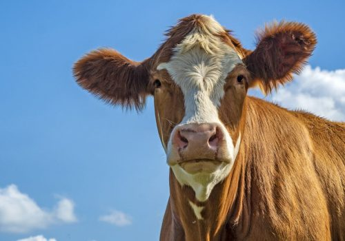 cow-with-blue-sky