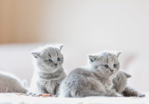 litter-of-kittens-in-home-british-shorthairs-PURWZWX