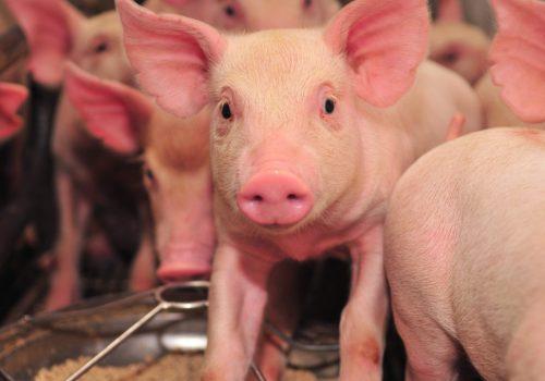 pig-farm-1024x680