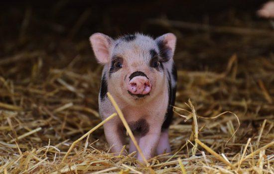 piglet-in-hay-1024x681