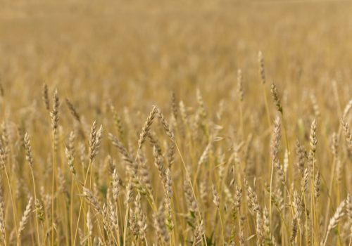 yellow-grain-ready-for-harvest-growing-in-a-farm-SN98XD6
